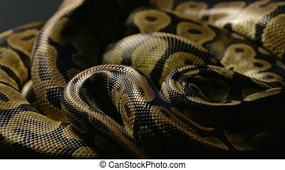Snakeskin of royal python in shadow - Footage of royal ball...
