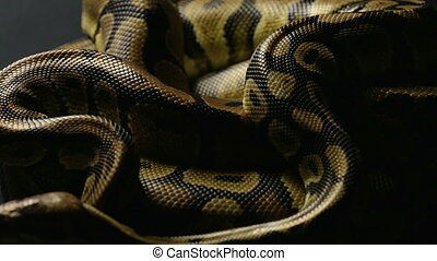 Snakeskin of two ball pythons in shadow - Footage of royal...