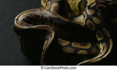 Snakeskin of two royal pythons in shadow - Footage of royal...