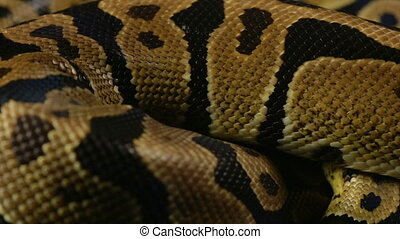 Snakeskin pattern of ball python - Footage of royal ball...