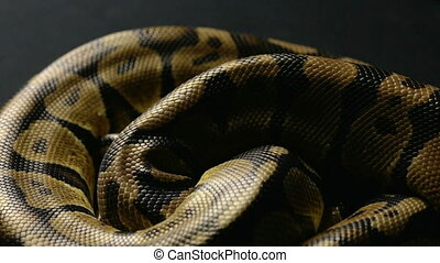 Snakeskin pattern of python in shadow - Footage of royal...