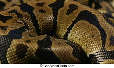 Snakeskin pattern of royal python - Footage of royal ball...