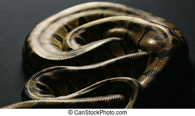 Snakeskin pattern of royal python in shadow - Footage of...