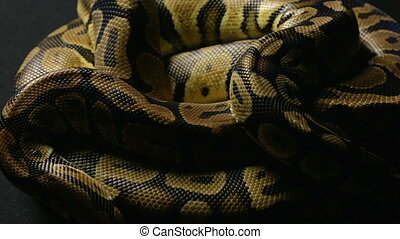 Snakeskin's pattern of ball python in shadow - Footage of...