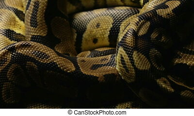 Snakeskin's pattern of python in shadow - Footage of royal...