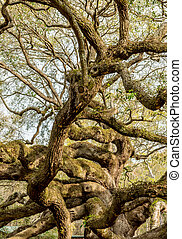 Snaking Branches of Live Oak Tree