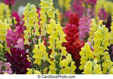 snapp drage, (antirrhinum, majus), blooming, ind, have