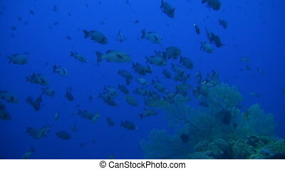 Snapper on a coral reef.