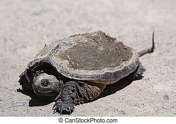 Snapping Turtle RE-4537