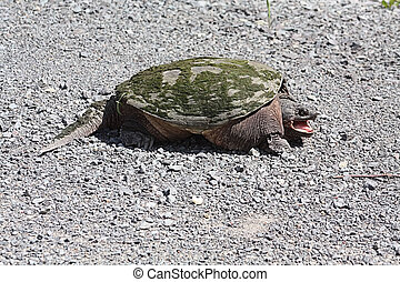 Snapping Turtle TU-062