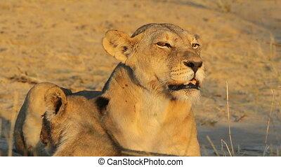 Snarling lioness (Panthera leo) showing her teeth, Kalahari desert, South Africa