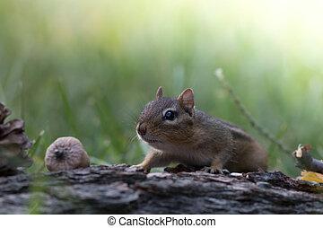 Sneaky - Eastern Chipmunk (Tamias Striatus) stuffs cheeks ...