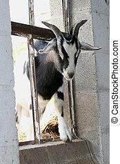Sneaky Goat - Goat climbing through broken window.