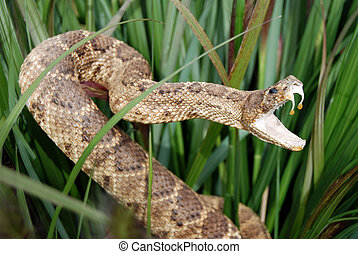 Sneaky Snake - Rattle snake in the tall grass.