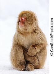 sneeuw aap