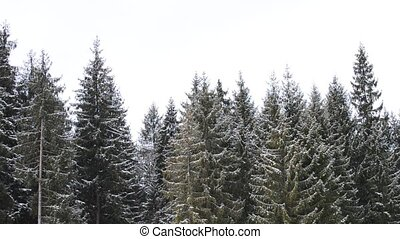sneeuw, het vallen, op achtergrond, van, groene, fir bomen