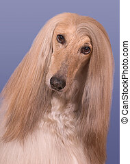 Snickers the Afghan Hound - A portrait of a male afghan...
