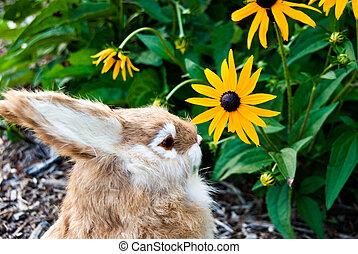 Sniffing Susan - Bunny sniffing a black-eyed susan.