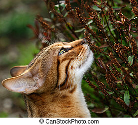 The head and neck of Bengali special breed kitten stretching and sniffing a dead hebe flowerhead.