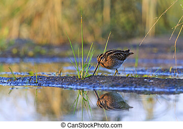 snipe on the lake with a reflection in water