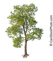 snitt, träd, isolerat, rötter