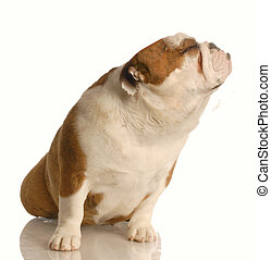 snobby dog - english bulldog with nose up in the air - bad...