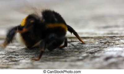 snooty bumblebee