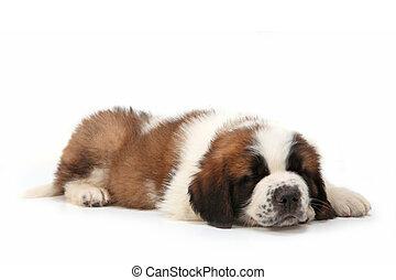 Snoozing Saint Bernard Puppy