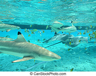 Snorkeling with blacktip reef sharks, Carcharhinus melanopterus, stingrays, Himantura fai, and butterfly fish, Chaetodon falcula, in the shallow, clear water of the lagoon of Bora Bora, an island in the Tahiti archipelago French Polynesia.