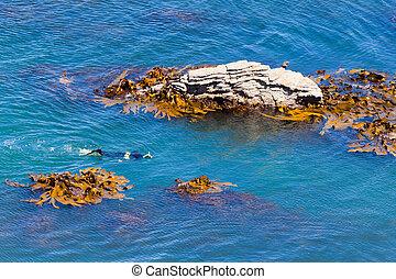 snorkeller, taureau, rochers, varech, entre, océan