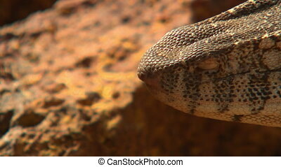 Steady, extreme close up shot of a perentie's snout and mouth.