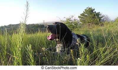 snout spotted purebred dog in grass
