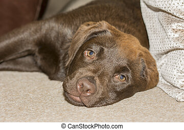 Snout view of a Chocolate Labrador puppy lying in the family room