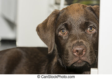 Snout view of a cute Chocolate Labrador puppy