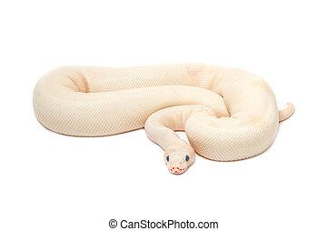 Snow Albino Ball Python (Python regius) on white background