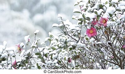 Snow and camellia sasanqua