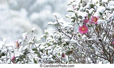 Snow and camellia sasanqua