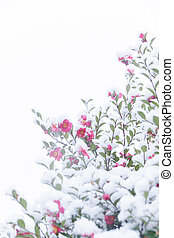 Snow and chilly camellia flowers