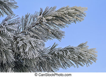 Snow and hoarfrost on pine tree branch close up