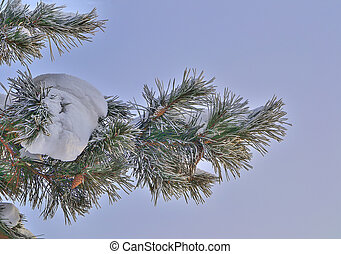 Snow and hoarfrost on pine tree branch with cones close up