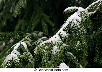 Snow and water drops on spruce branches