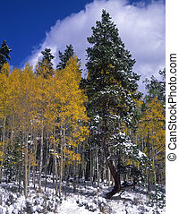 Snow Aspens - Snow and aspen trees during the autumn season.