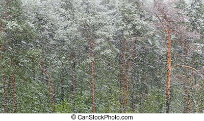 Snow blizzard in the pine forest. FHD stock footage.