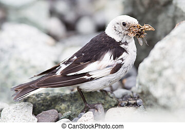 Snow Bunting, Plectrophenax nivalis in breeding plumage, Iceland (insects in beak)