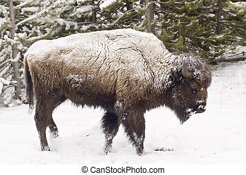 Snow-Coated Bison