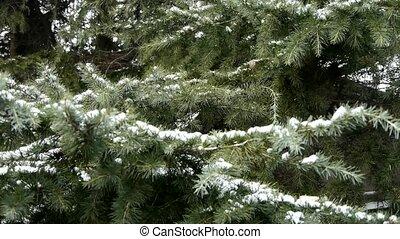 Snow cover pine trees.