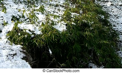 Snow covered Bamboo, swaying in wind