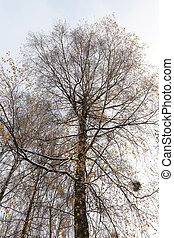 snow-covered birch branches with yellow leaves -