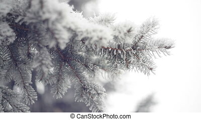 Snow-covered branch of a pine in winter park. Christmas...