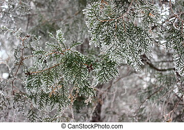 snow-covered branches of thuja